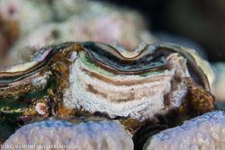 BD-120424-Marsa-Alam-6460-Tridacna-squamosa.-Lamarck.-1819-[Fluted-giant-clam].jpg